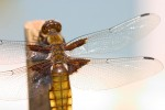 ANIM2004-Vleugels van Libelle 2 - versie 2