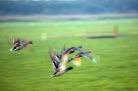BIRD2005-FLIGHT OF DUCKS_X8P0415