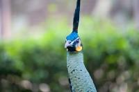 BIRD2006-PEACOCK CLOSE-VX8P2985