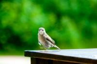 BIRD2007-MUSJE 9-VX8P8793