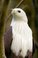 BIRD2007-EAGLE PORTRAIT 2-VX8P9713