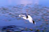 BIRD2003-SJONNY ...DIVE FOR FOOD