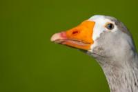BIRD2005--DUCK-PORTR_MG_7106