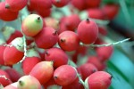 FRUI2002-Rode palmvruchten 1 - versie 3
