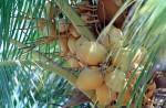 FRUI2001-Jonge kokosnoten  - versie 3