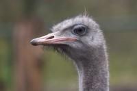 BIRD2005-STRUISVOGELPROFIEL_MG_7384