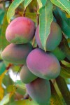 FRUI2001-Mango's - versie 3