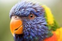 BIRD2005--COLOURS OF THE LORIBEWERKT_X8P8352