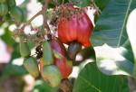 FRUI2001-Cashewnuts 2 - versie 3