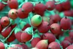 FRUI2002-Rode palmvruchtjes 2 - versie 3