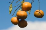 FRUI2004-Orange in the sky 4557 - versie 3
