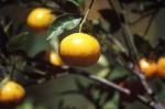 FRUI2004-Ripe orange  - versie 3