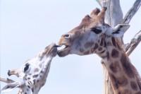 ANIM2003-Giraffen-kus