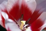 FLOW2003-Tulip in light - versie 2