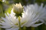 FLOW2005-DAHLIA_X8P9075 - versie 2