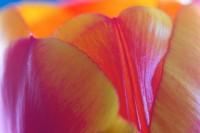 ABST2005-Mysty Tulip 2