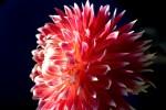 FLOW2007-DAHLIA 11-VX8P1025