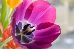 FLOW2010-TULIP IN FULL COLOUR_X8P1081