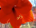FLOW2002-Rode Amarylis