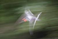 ABST2006-BIRD IN FLIGHT-