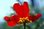 FLOW2003-Midlife tulip