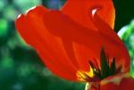 FLOW2002-Doorlichte tulpenblaadjes1