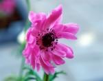 FLOW2002-Pink Annemoon