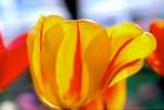 FLOW2002-Jolly yellow tulip