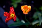 FLOW2010-TWO TULIPS 2_X8P1626 - versie 2