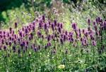 NATU2002-Lavendel of zo