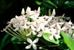 FLOW2002-Volle witte faja lobi