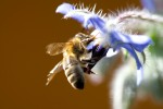 ANIM2007-BEE ON BLUE-VX8P0500 - versie 2