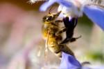 ANIM2007-BEE PORTRAIT-VX8P0508 - versie 2