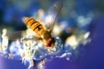 ANIM2004-Bee on blue 132_3253 - versie 2