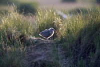BIRD2005-BRANDNEW GULL 2_X8P0488