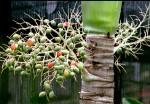 FRUI2001-Groene  palmfruits - versie 3