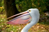 BIRD2006-PELIKAAN-VX8P3021