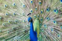 BIRD2007-MR.PEACOCK-VX8P9758
