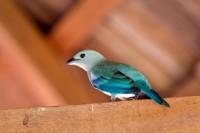 BIRD2009-BLAUWTJIE-VX8P5028