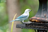 BIRD2001-Blauwtjie 1