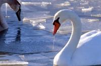 BIRD2002-Winterzwanen