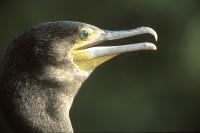 BIRD2004-Aalscholver 2