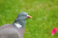 BIRD2004-Charming Pigeon