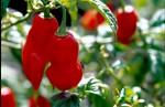 FRUI2003-Rode pepers - versie 3