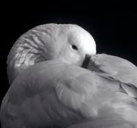 BIRD2004-Gans 2