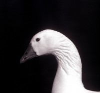 BIRD2004-Gans-profiel