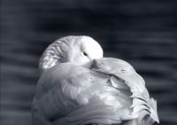 BIRD2004-Gans 1