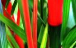 FLOW2000-Rode Palm (20)  nr. 31A