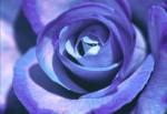FLOW2003-Blue rose