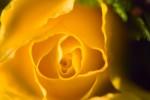 FLOW2005-Bloemen-Yellow curves VX8P3641 - versie 2